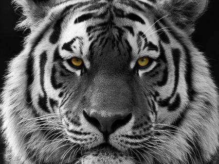 Tijger - - - foto door Schaef op 16-05-2015 - deze foto bevat: natuur, safari, tijger, afrika