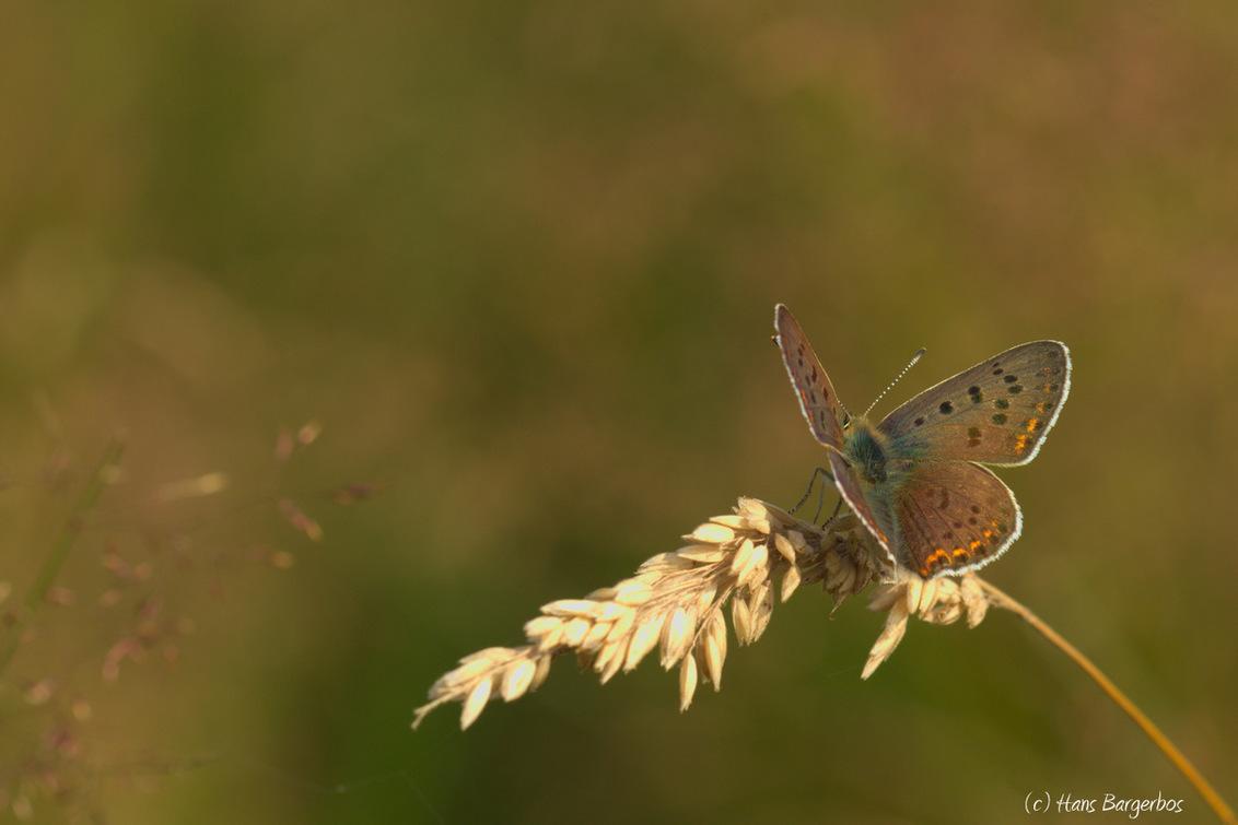 Mijn favoriete vlinder... - De bruine vuurvlinder blijft voor mij een van de mooiste vlinders. Vorig jaar heb ik ze helaas niet veel aangetroffen. Ik hoop ze het komende jaar me - foto door HansBargerbos op 03-02-2016 - deze foto bevat: macro, vlinder, bruine vuurvlinder, delleboersterheide, Bargerbos, hans bargerbos