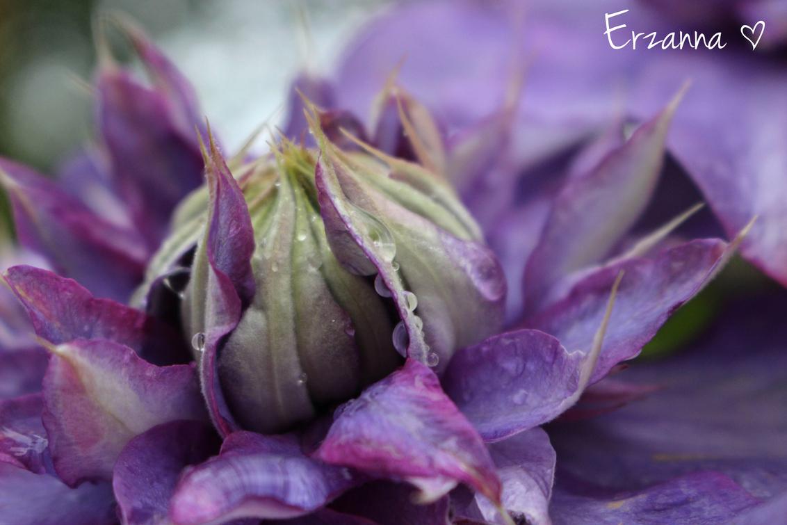Clematis - Na een regenbui even naar buiten gegaan om foto's te maken. De waterdruppeltjes geven altijd een leuk effect. - foto door Erzanna op 11-06-2015 - deze foto bevat: macro, bloem, lente, natuur, druppel, clematis