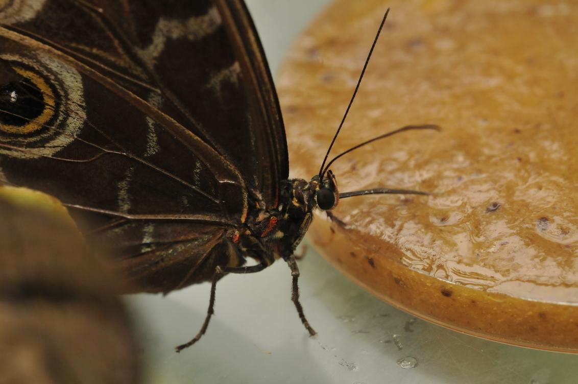 vlinder - gemaakt met: Nikon D300 Lens Nikon 60mm/macro 2.8 f/9 slt 1/1oo ISO2 800 Gemaakt in Artis (Vlindertuin) - foto door eikenhorst op 19-04-2009 - deze foto bevat: vlinder
