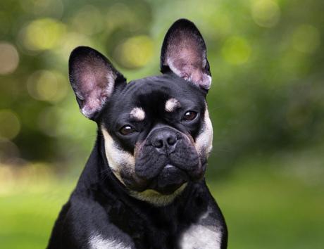 Lizzy de Franse Bulldog