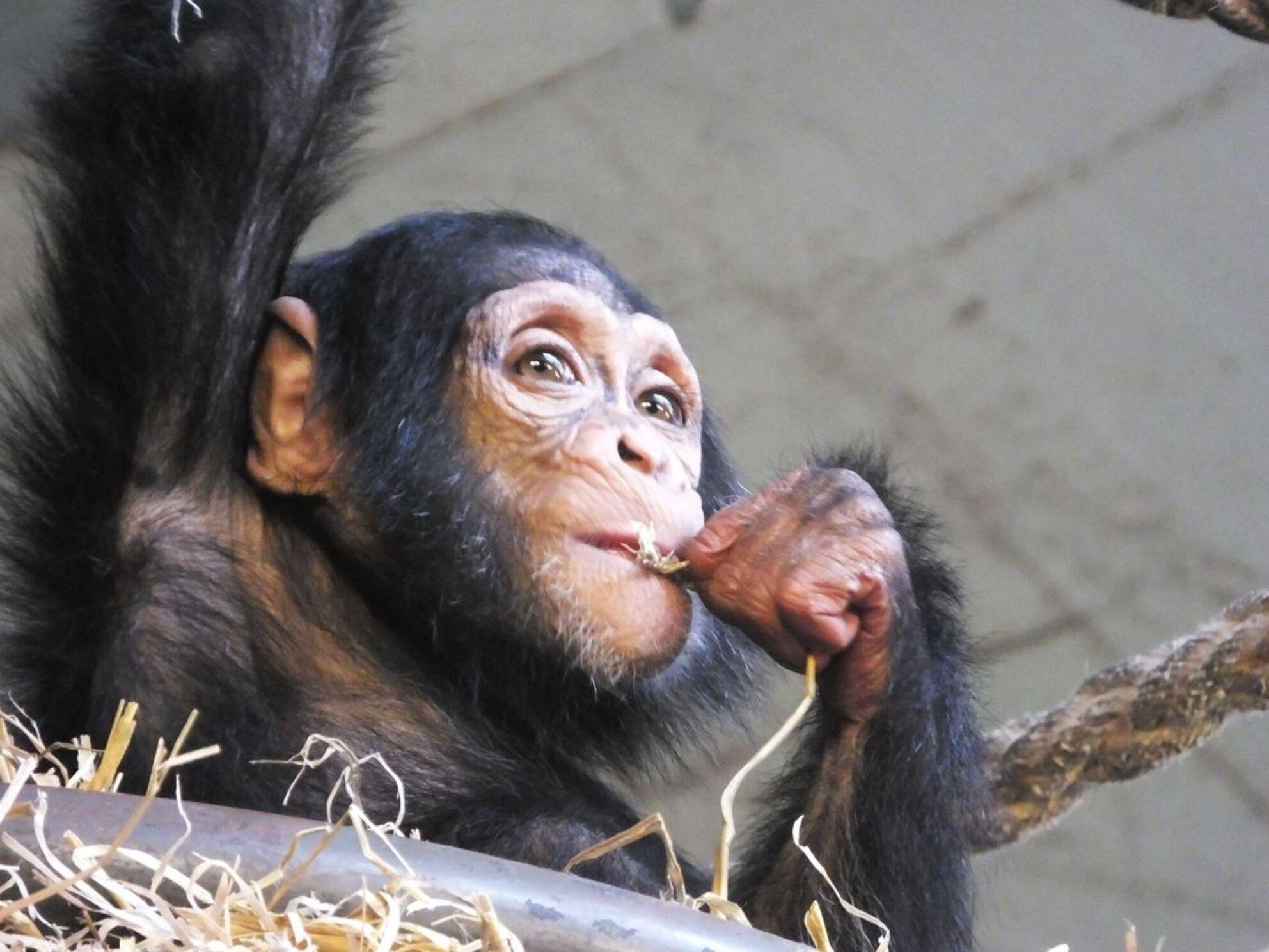 Shangwe - DSCF6475.jpg - foto door Esmay1 op 17-11-2013 - deze foto bevat: amsterdam, dierentuin, artis, apen, zoo, apes, chimpansees, Shangwe - Deze foto mag gebruikt worden in een Zoom.nl publicatie