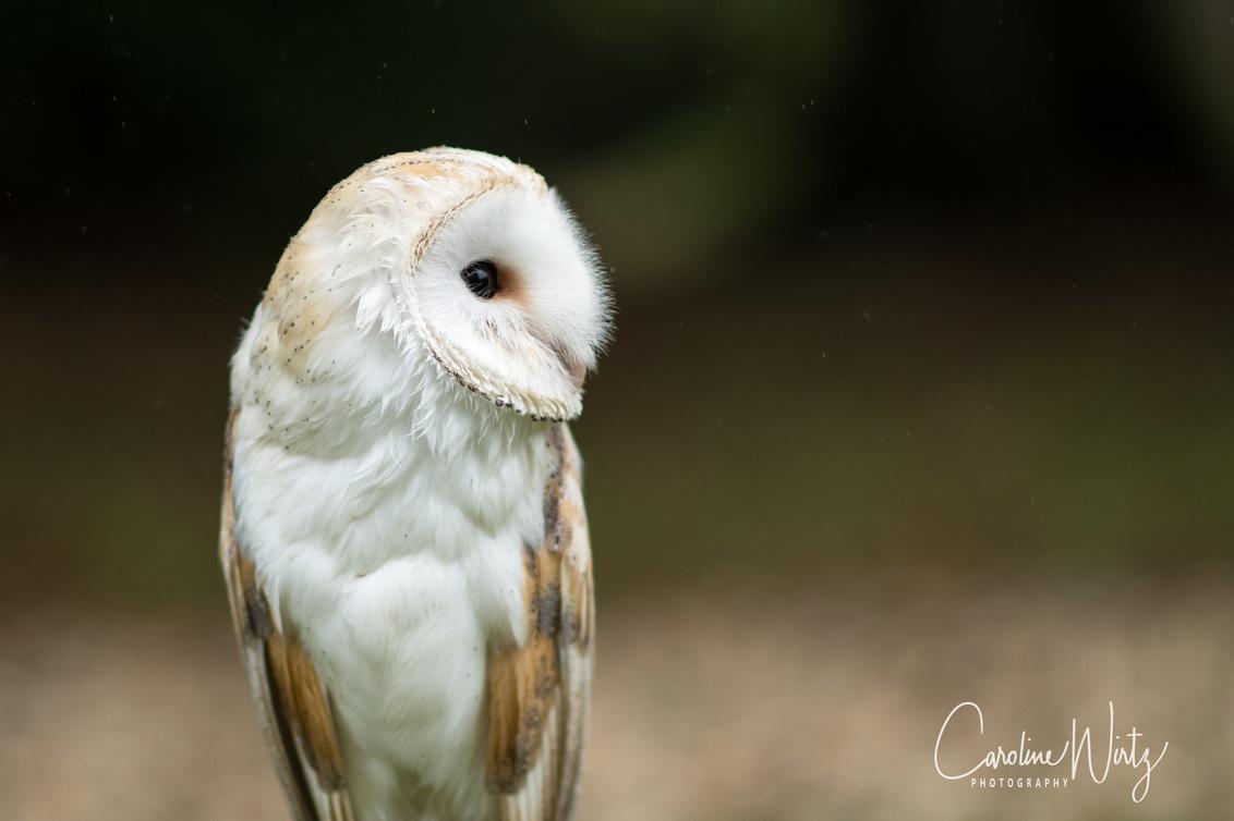 Kerkuil - Modelshoot Dankzij een valkenier heb ik mijn nieuwe 85 mm 1.8 lens kunnen testen - foto door Caroline Wirtz op 08-10-2017 - deze foto bevat: uil, bruin, herfst, dieren, vogel