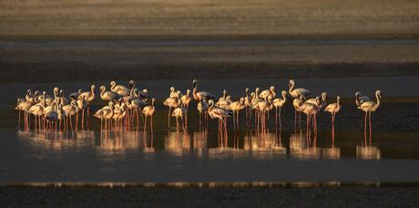 Flamingo's in warm avondlicht