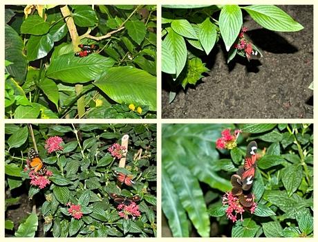 Bloeiende planten met hier en daar de passiebloemvlinders Heliconius erato en/of Heliconius melpomene.