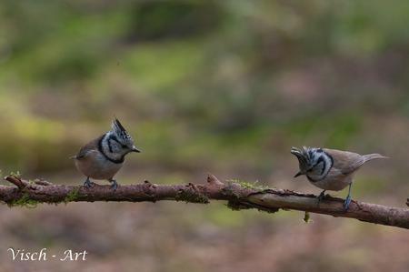 Met z'n tweeën is het altijd gezelliger - I.pv. de gebruikelijke 1 vogel op een stokje nu eens twee vogels. Het is wel even schakelen als er twee mooie kuifmeesjes op het stokje gaan zitten. - foto door visch-castle op 10-04-2014 - deze foto bevat: veluwe, vogel, twee, kuifmees