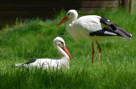 Ooievaars paartje. - De ooievaar, ook wel uiver, eiber of stork genoemd, is een grote, witte vogel met zwarte vleugelranden en rode poten en snavel. Een ooievaar wordt 0, - foto door hayke op 30-05-2017 - deze foto bevat: ooievaar, Ciconia ciconia, hayke
