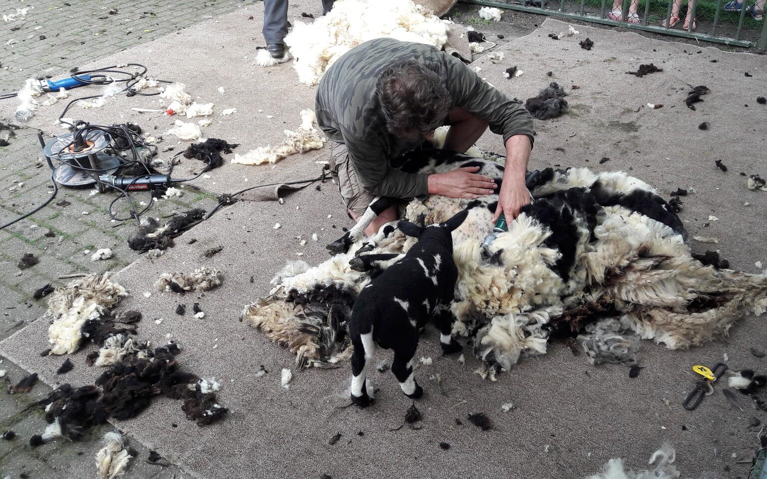 waar is mama? - einde van de lente, groot feest, heet jaarlijkse schaapsscheerdersfeest, eindelijk die winterjas uit en klaar voor de zomer, het lam kijkt van dichtb - foto door RolandvanTol op 11-04-2021 - locatie: Burgemeester Bruins Slotsingel 11, 2403 NC Alphen aan den Rijn, Nederland - deze foto bevat: schaap, lam, scheren, wol, vacht, jeans, asfalt, werkend dier, vogel, verontreiniging, evenement, landschap, verspilling, bodem, weg oppervlak