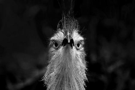 Brutaal -1- - zwart wit portret van een Kuiftinamoe - foto door fotohela op 13-04-2021 - locatie: Hoorn 59, 2404 HG Alphen aan den Rijn, Nederland - deze foto bevat: vogel, zwart-wit, portret, kuiftinamoe, avifauna, bakkebaarden, flitsfotografie, vogel, fabriek, terrestrische plant, snuit, terrestrische dieren, baard, ratite, gras