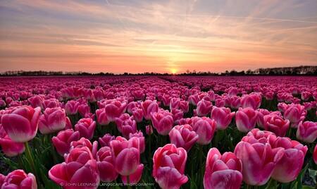 Beetje kleur - Iedereen bedankt voor de reacties op mijn vorige uploads.  Beetje kleur in deze tocht wat sombere tijd wat het weer betreft. Uit mijn achief van be - foto door john9999 op 18-12-2016 - deze foto bevat: tulpen, zonsondergang, tulpenveld, John Leeninga