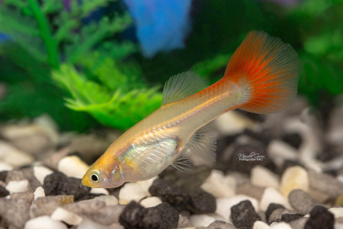 Guppy - - - foto door Fotografiemg op 22-08-2020 - deze foto bevat: kleuren, natuur, dieren, vis, vissen, zwemmen, aquarium, huisdieren, zoetwater, guppy, vinnen, vis fotografie, aquarium hobby