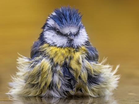 Pimpelmeesje in het bad - Met zijn punk kapseltje en zijn fluffy veertjes lijkt dit kleurige tuinvogeltje net een exotische vogelsoort - foto door geld1846 op 17-02-2020