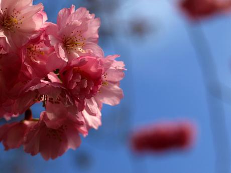 roze bloesem