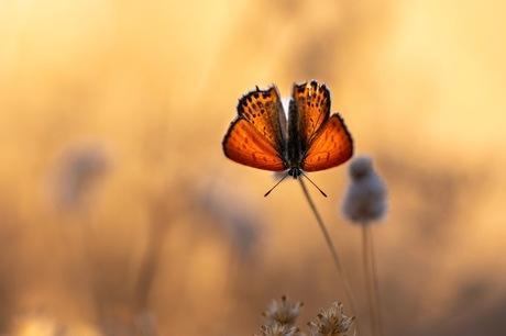 Oostelijke vuurvlinder