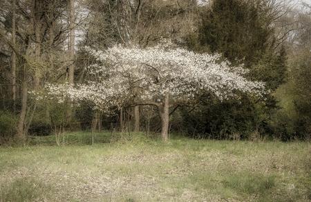 Bloesem - Bloesemboom - foto door cdgrf op 10-04-2021 - deze foto bevat: bloesem, boom, bomen, bos, groen, wit, bloemen, fabriek, natuurlijk landschap, takje, afdeling, boom, kofferbak, hout, struik, gras, landschap