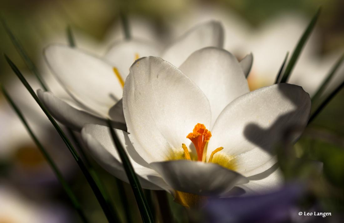 Krokus, nog eentje omdat ze zo mooi gebloeid hebben. - Bedankt voor de vele en mooie reacties op Long way home.  Ben ik erg blij mee. Groetjes Leo - foto door Leo-Langen op 05-03-2019 - deze foto bevat: wit, bloem, lente, krokus, crocus, leo langen 00049666