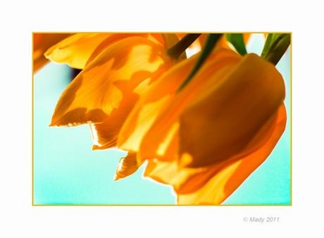 Tulpen creatie(f) 3