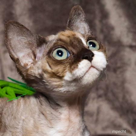 Noxy devon rex - Noxy het foto model, geleerd van haar mama - foto door schaiky op 12-04-2021 - locatie: 2133 KX Hoofddorp, Nederland - deze foto bevat: kitten, kat, kater, huisdier, poes, hoofd, kat, carnivoor, felidae, kleine tot middelgrote katten, oor, bakkebaarden, fawn, terrestrische dieren, snuit