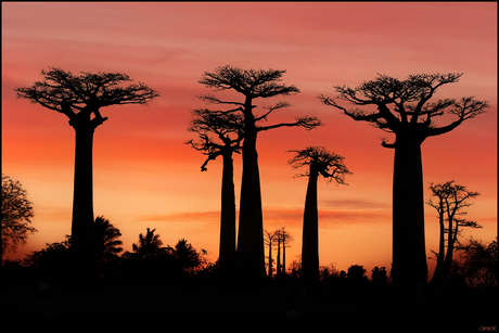 Rue du Baobab - Morondava (MG)