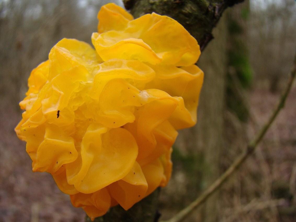 Fel oranje - Deze boomzwam geeft op de kortste dag van het jaar een beetje kleur aan de natuur. - foto door Derine op 21-12-2008 - deze foto bevat: presentatie, oranje, fel, december, boomzwam