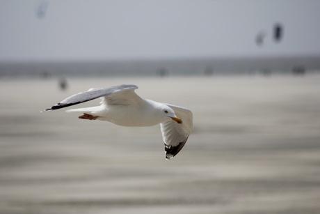 Vlucht van Zeemeeuw