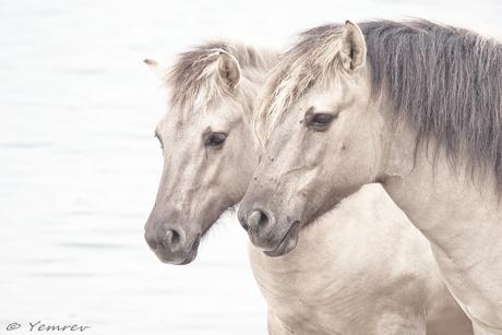 Paardenhoofdstel