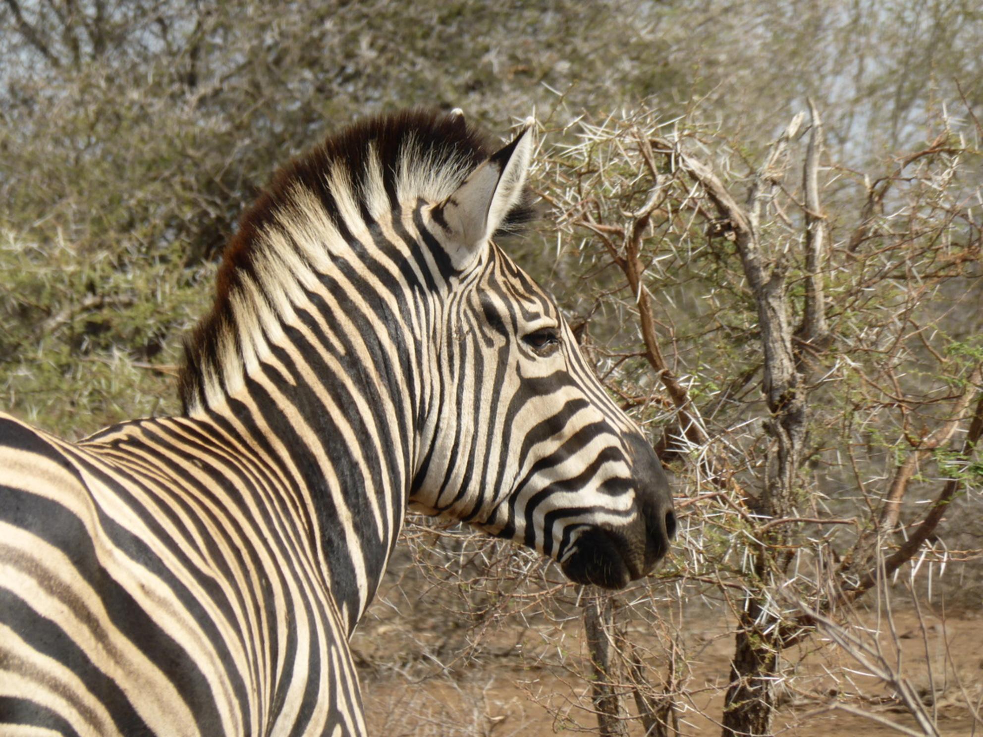 Up close Zebra - Prachtige up close foto van een zebra - foto door corbie op 25-02-2017 - deze foto bevat: natuur, dieren, safari, afrika