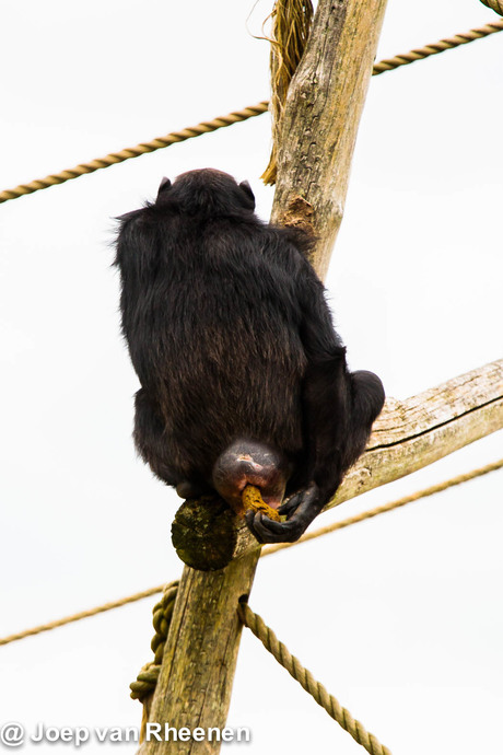 Chimpansee @ joep van rheenen