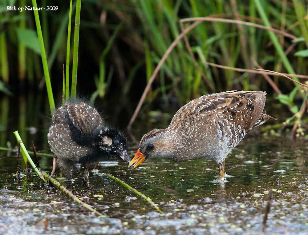 Porseleinhoen - Wat: Porseleinhoen (Porzana Porzana)  met jong. Biotoop: ondiepe, dicht begroeide moerassen. Het porseleinhoen is een schuwe moerasvogel, die leeft  - foto door bon_zoom op 01-11-2009 - deze foto bevat: voeren, moeras, hoen, jong, ral, moerasvogel, Porseleinhoen