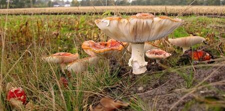 In de berm...... - Geen weer om echt het bos in te gaan hier, donker en dit staat langs de weg. Ook nog in redelijke staat, deze hele familie.  gr jenny en allen bed - foto door jenny42 op 21-10-2012 - deze foto bevat: paddenstoelen, vliegenzwammen, koekange, jenny42, In de Berm, familie.