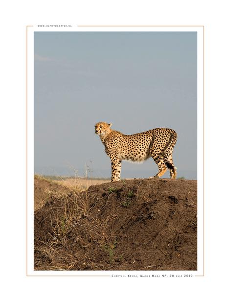 Cheetah, Kenia