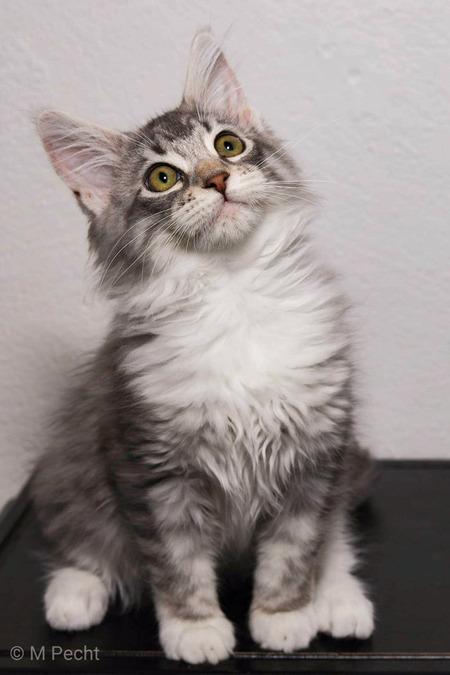 Maine coon kitten Luna  - Luna overal bij zijn mooi meisje - foto door schaiky op 10-04-2021 - locatie: 2133 KX Hoofddorp, Nederland - deze foto bevat: maine coon, kitten, kat, huisdier, grijs, tabby, silver, kat, venster, carnivoor, felidae, iris, grijs, kleine tot middelgrote katten, bakkebaarden, snuit, vacht