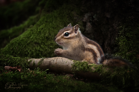 - Siberisch grondeekhoorntje -