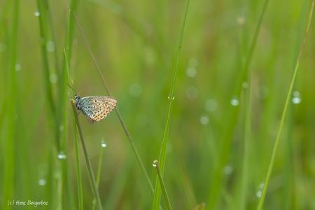 After the rain. - Afgelopen weekend op de Delleboersterheide. Ik moest even schuilen voor een buitje. Toen het weer droog was zag ik dit heideblauwtje in het gras.   - foto door HansBargerbos op 15-07-2016 - deze foto bevat: groen, macro, vlinder, blauwtje, druppels, heideblauwtje, delleboersterheide, Bargerbos