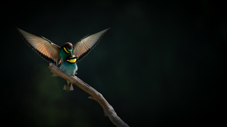 Mating Bee-eater
