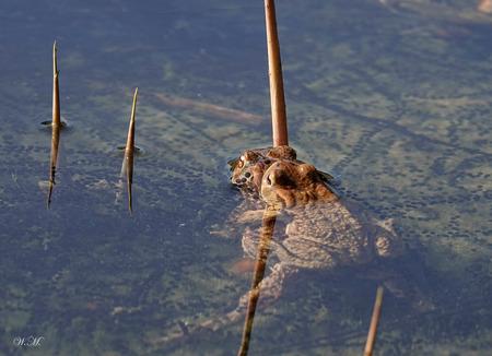 Parende padden! - Nog nooit zoveel parende padden gezien. Zeker 50 stuks. De zwarten slierten die je ziet in het water zijn de eitjes. De padden leggen hun eieren in s - foto door WMeijerink op 16-04-2021 - deze foto bevat: padden, water, natuur, eieren, natuurfotografie, natuurfoto, water, fabriek, lichaam van water, hout, takje, zachte vlag, recreatie, meer, dieren in het wild, vleugel