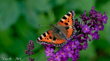 Kleine Vos (Aglais urticae); - Om weer eens wat kleur toe te voegen aan het album een mooi vlinder foto op een paarse bloem. Vlinders zijn niet voor niet zo kleur rijk. - foto door visch-castle op 02-08-2014