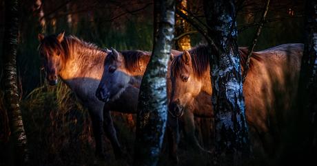 twilight and three horses