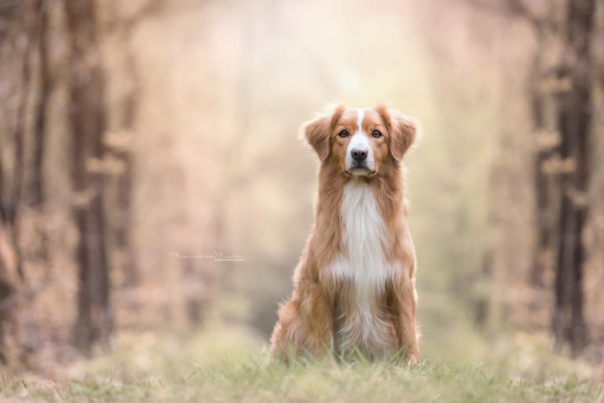 Love - Een Novia Scotia Duck Tolling Retriever.. - foto door monicavdm op 19-05-2017 - deze foto bevat: portret, dieren, huisdier, bos, hond, ogen, nikon, ras, zacht, pastel - Deze foto mag gebruikt worden in een Zoom.nl publicatie