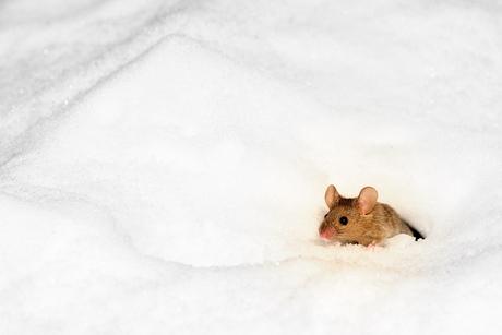 Bosmuisje in de iskoude sneeuw AVR_9958-1.jpg