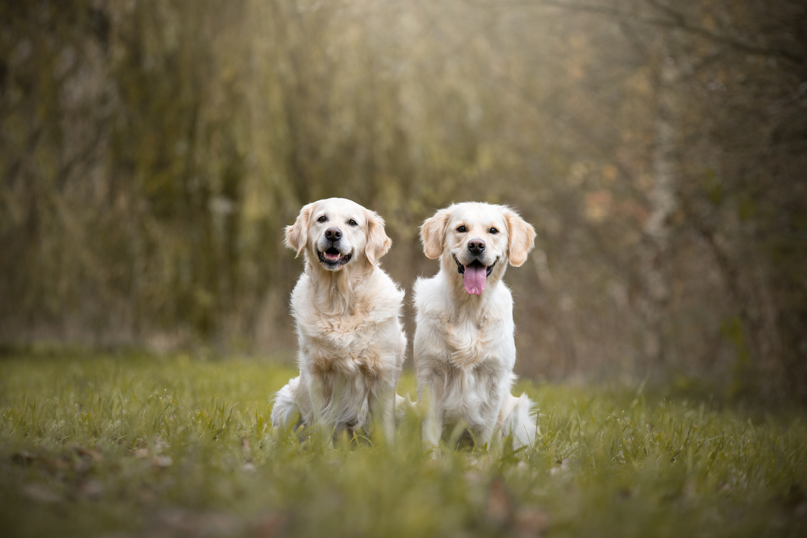 Evy en Cato - Evy en Cato, moeder en dochter.  Van kennel The Dutch Coast. - foto door HannahV op 20-11-2017 - deze foto bevat: groen, natuur, huisdier, bos, hond, Golden Retriever
