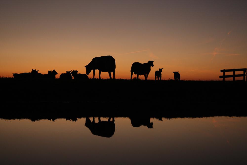 Voorjaarsschemering - voorjaarsschemering in de schapenwei. groeten, Bert - foto door b.neeleman op 18-03-2015 - deze foto bevat: avond, zonsondergang, spiegeling, lammetjes, schapen, voorjaar, schemering