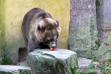 Kijk, Oma . . . . - . . . . . . appel  eten.  Nogmaals door het vieze glas genomen.  Bedankt voor de reacties :) - foto door Lilian2010 op 23-01-2015 - deze foto bevat: dierentuin, appel, beer, amersfoort