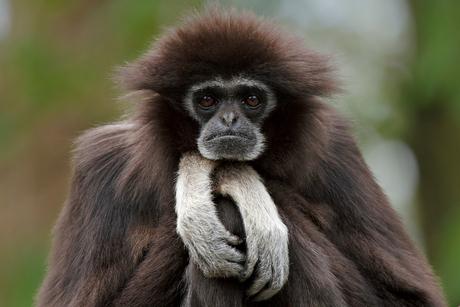 Gibbon01.1