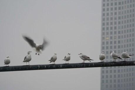 Meeuwen in downtown Rotterdam