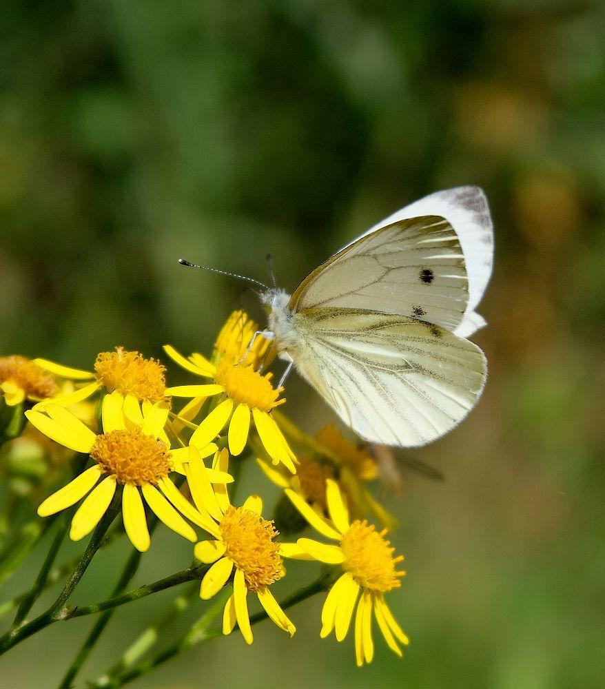 Koolwitje. - Vanmiddag gevangen met de camera... Zag dat het een beetje groen heeft en niet zoal de anderen.  Allen bedankt voor de reactie op de Oehoe.. - foto door jenny42 op 13-08-2017 - deze foto bevat: groen, natuur, vlinder, geel, dieren, koolwitje.
