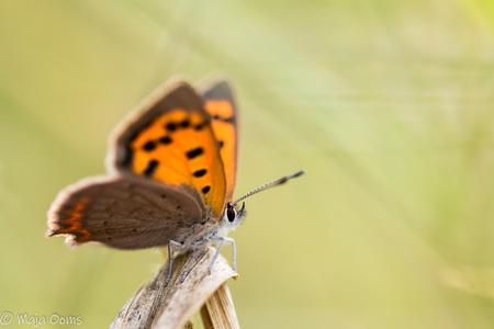 Fire up... - Nog een foto van de kleine vuurvlinder...vind ze zo mooi. is van week of 2 terug... - foto door mb83 op 05-09-2018 - deze foto bevat: vlinder, licht, insect, dof, bokeh, kleine vuurvlinder