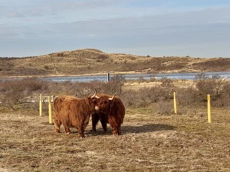 knuffelen - Fietsen tussen Zandvoort en IJmuiden. - foto door RolandvanTol op 25-02-2021 - deze foto bevat: lucht, water, natuur, koe, dieren, duinen, wild, tam, wandelgebied, schotse hooglanders, wilde koe