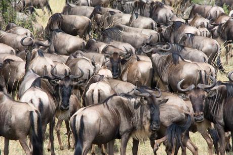 Afrika, kudde gnoes