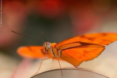 Vlindertje vlindertje aan de wand..